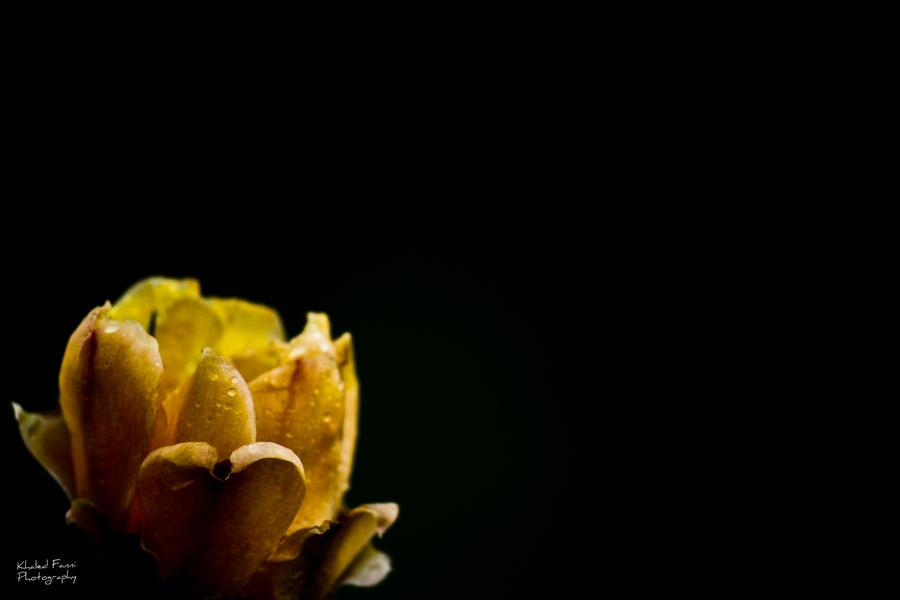 Cactus flower by KhaledFanni