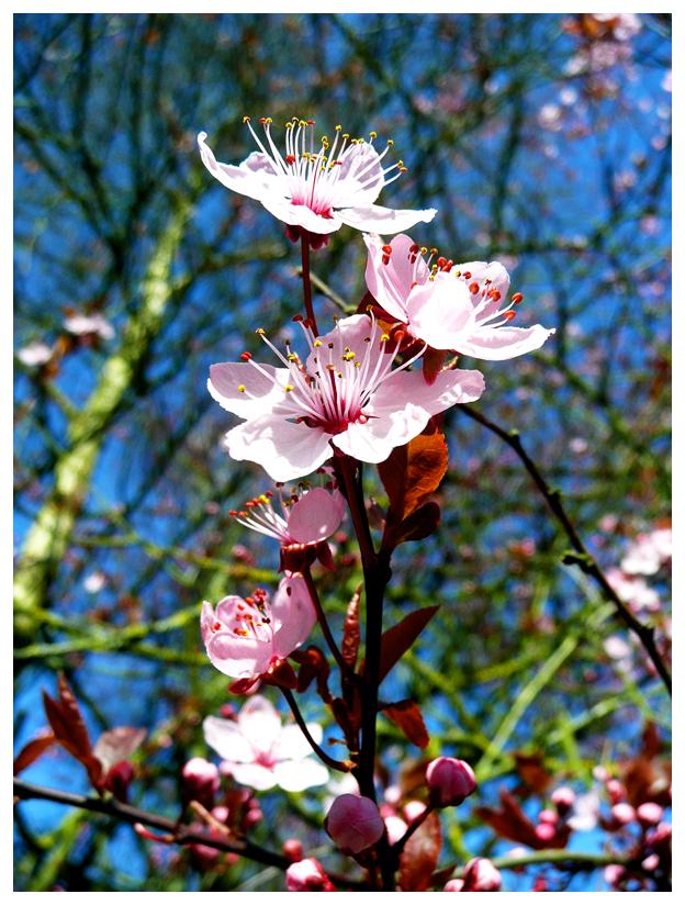 Cherry Blossom by crystalfalls