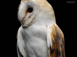 Barn Owl by crystalfalls