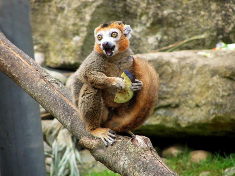 Lemur by crystalfalls