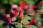 Rose Bud by SwEEtmulbeRRy