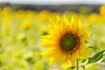 Sun And The Sunflower