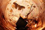 A Moth - Genus Unknown