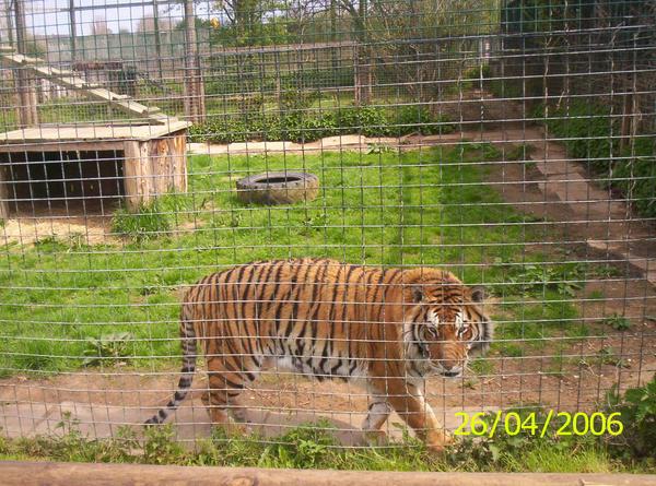 Tiger 3 by laprasking