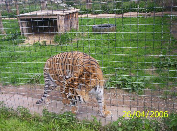 Tiger 4 by laprasking