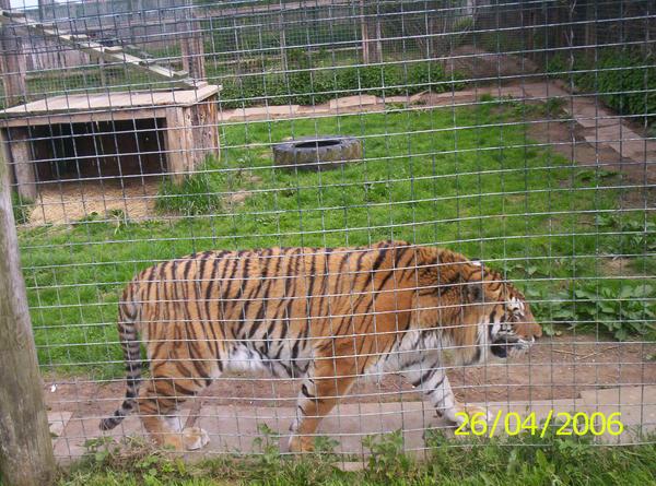 Tiger 6 by laprasking