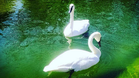 Swan Love by GrungePhotography