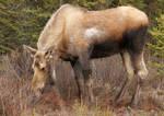 Moose 12