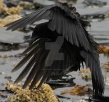 Crow 21