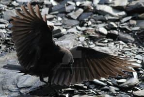 Crow 32