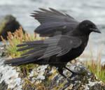 Crow 40