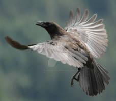 Crow 41
