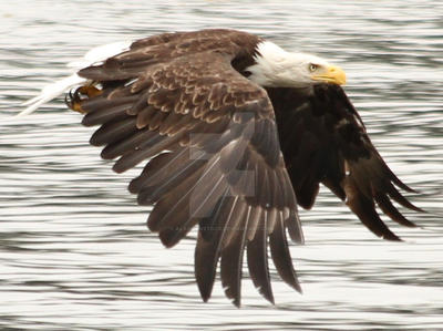 Eagle 281 by AlaskanStock