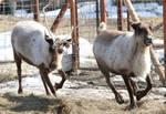 Reindeer 416