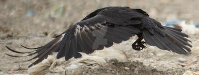 Raven 31 by AlaskanStock