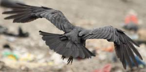 Raven 28