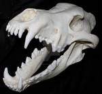 Dire Wolf Skull 9