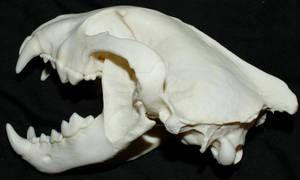 Wolverine Skull 12