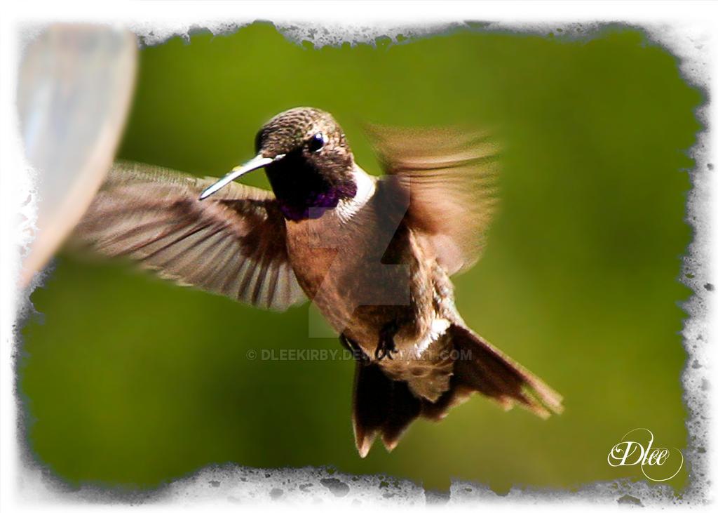 Humming Bird in Motion