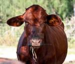 Texan Cow 2