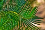 Saga Palm Fron 2