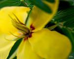 Texas Yellow Wild Flower