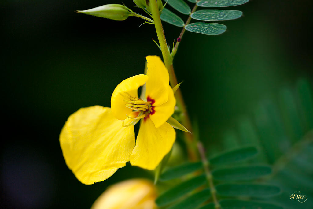 Texas Yellow Wild Flower 2