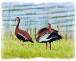 Painted Ducks