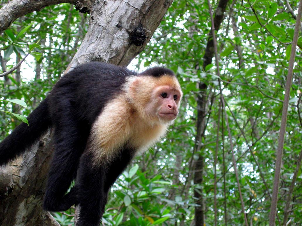 Capuchin Monkey Pictures Capuchin Monkey in Costa Rica