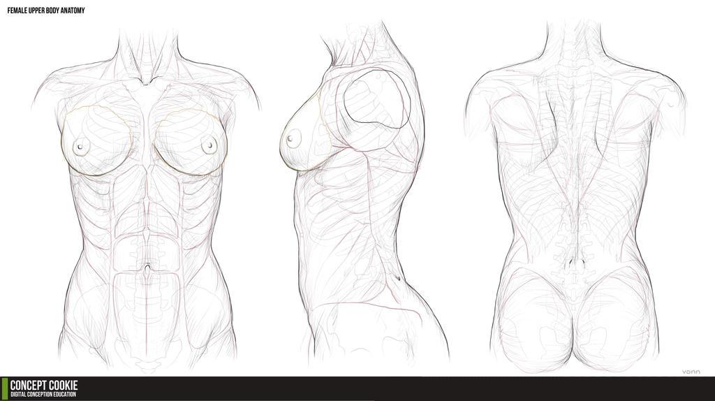 Anatomy Female Torso by CharlieItuah on DeviantArt