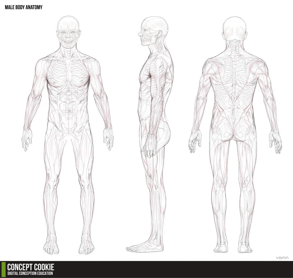 Reference Anatomy Male Body By Charlieituah On Deviantart