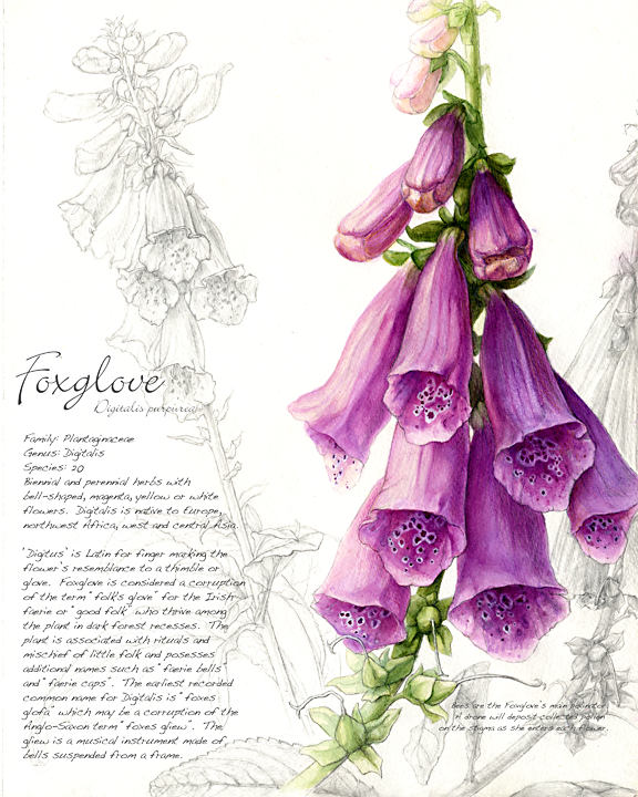 the gallery for gt foxglove botanical drawing