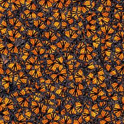 Monarch swarm