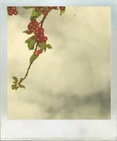 les cerises. by moumine-polaroid