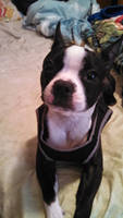 Puddy, the special needs Boston Terrier