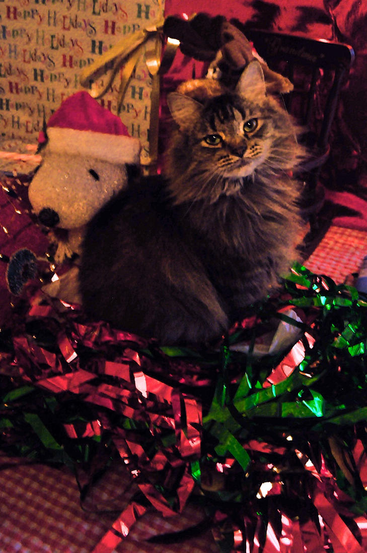 My best friend is my maine coon merry xmas by tytaniafairy