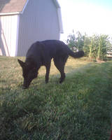 Black Dog 5 by Nico-Stock