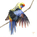 perruche d'Adelaide