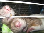 Rat Noses
