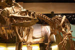 Saurophaganax Skeleton