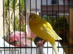 Canary 8