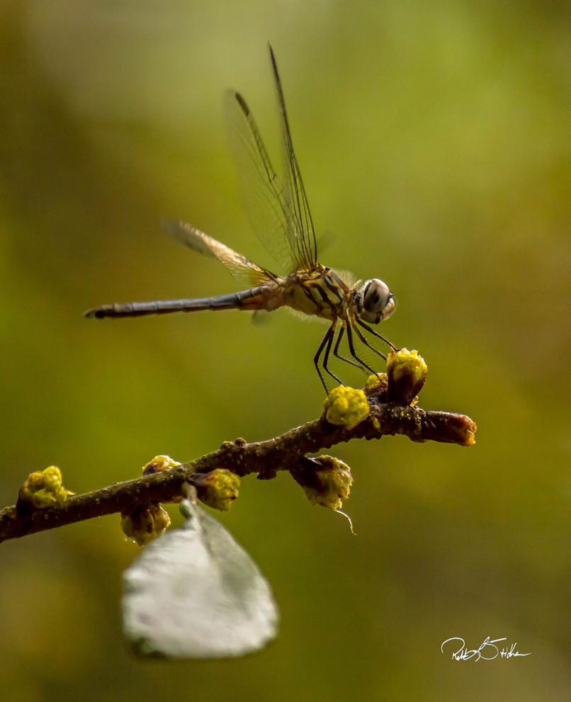 Dragonfly by WatchTower513