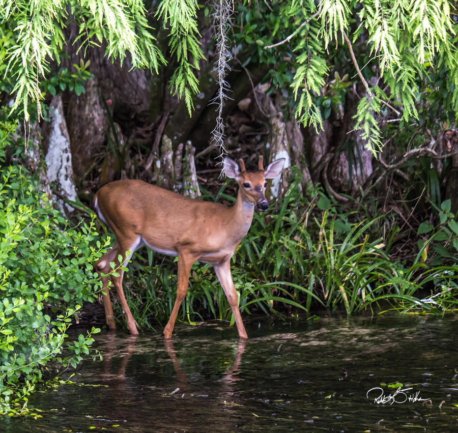 Young Buck by WatchTower513