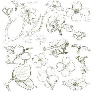 Dogwood Studies