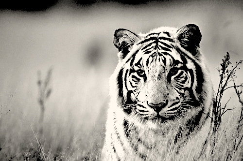 White Tiger AskSock 2 by asksock