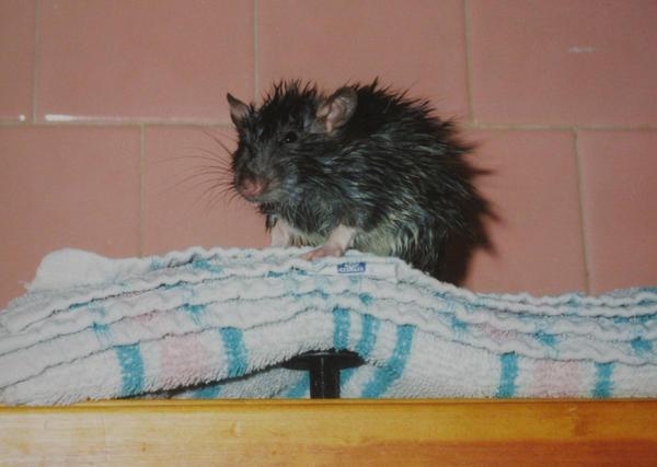 Wet Rat by Rheaver