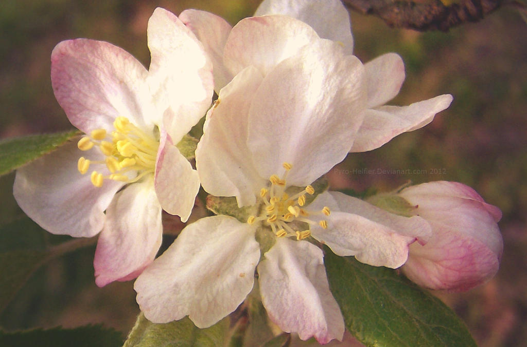 Spring time apple blossoms by pyro-helfier