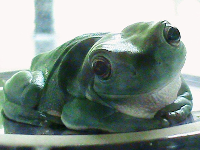 White's Tree Frog: Epitome of Adorableness! by IrThumper