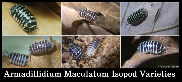 Armadillidium Maculatum Isopod Varieties