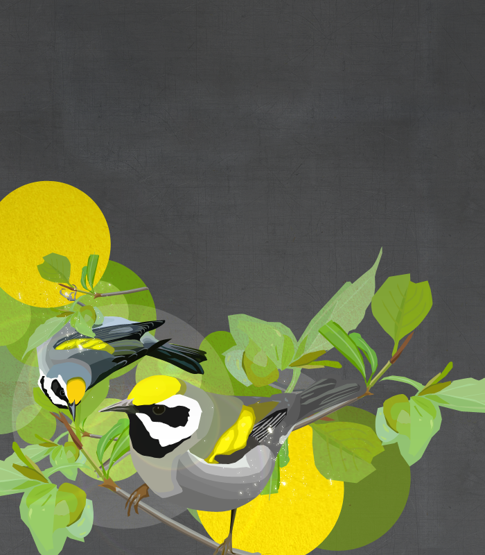 Golden-winged Warblers by glassbitch